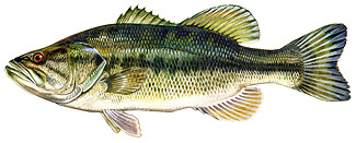 Image gallery new hampshire state fish for Bass fishing nh