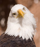 'nongame' from the web at 'http://www.wildlife.state.nh.us/images/eagle.jpg'