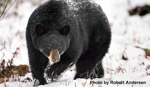 Bear hunting new hampshire fish and game department for Nh fish and game license