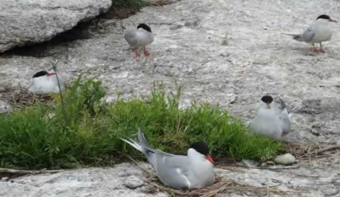 Common terns