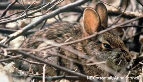 NE Cottontail Project | Nongame | New Hampshire Fish and