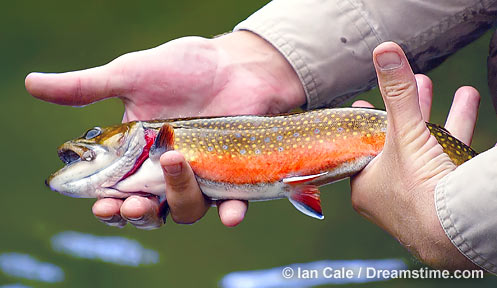 Trout Stocking In Nh 96