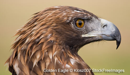 golden eagle nongame new hampshire fish and game department