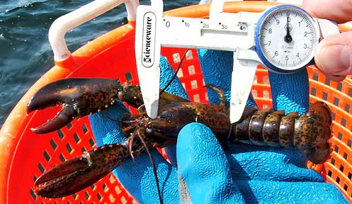 Nh lobster reporting programs marine new hampshire for Nh fish and game license