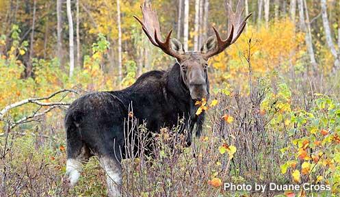N.h. Moose Moose Hunt Basics | Hu...