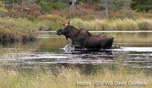 moose perlmoose перевод, moose racing, moose blood, moose on, moose plural, moose jaw, moose little live pets, moose test, moose транскрипция, moose and squirrel, moose toys, moose tna, moose perl, moose man, moose logo, moose the mooche, moose elk, moose shopkins, moose house, moose coffee