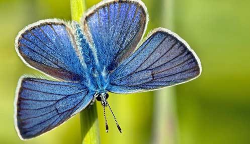 Image result for karner blue butterfly