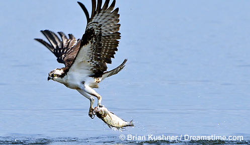 Osprey nongame new hampshire fish and game department for Nh fish and game license