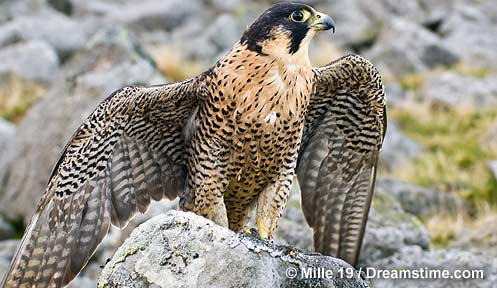 The Peregrine The Hill of Summer amp Diaries The Complete