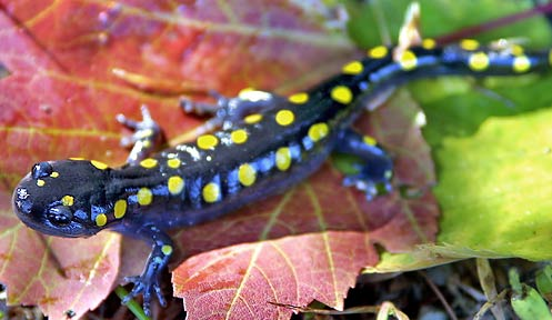 Spotted salamander nongame new hampshire fish and game for Nh fish and game license