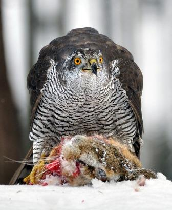 Northern goshawk with prey