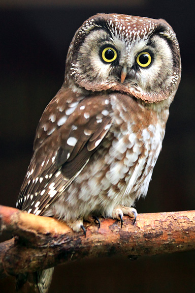 Owls | Nongame | New Hampshire Fish and Game Department