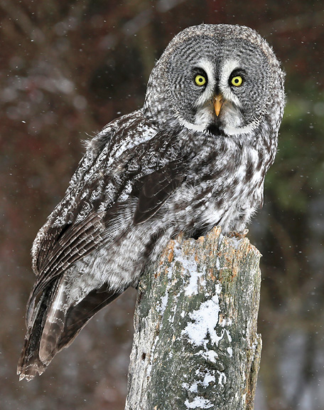 Great Gray Owl | Nongame | New Hampshire Fish and Game ...