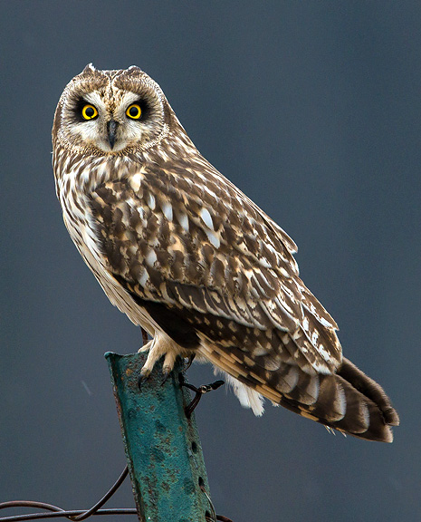 Short Eared Owl Nongame New Hampshire Fish And Game