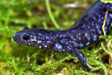 Blue-spotted Salamander | Nongame | New Hampshire Fish and