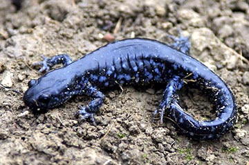 Blue-spotted Salamander   Nongame   New Hampshire Fish and Game ...