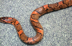 Eastern Milk Snake | Nongame | New Hampshire Fish and Game ...