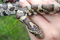 N H Reptiles Eastern Milk Snake | N...