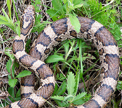 Eastern Milk Snake | Nongame | New Hampshire Fish and Game Department
