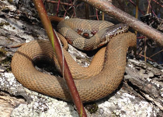 Northern Water Snake | Nongame | New Hampshire Fish and Game
