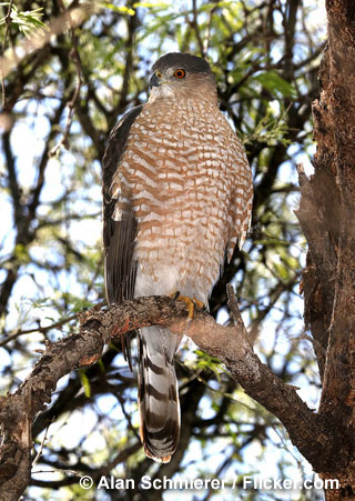 Cooper S Hawk Nongame New Hampshire Fish And Game