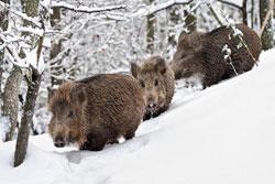 Feral Swine In New Hampshire