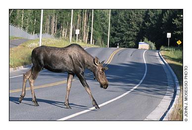N.h. Moose Habits and Habitats