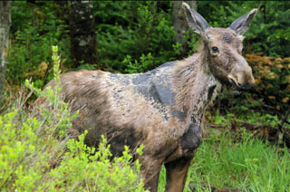 Moose attempt to remove ticks by scratching, licking, and rubbing often removing their hair at the same time. One moose can carry 10,000 to 120,000 ticks. (Photo by D. Bergeron)