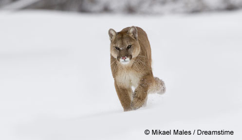 Mountain Lions   Wildlife   New Hampshire Fish and Game