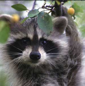 Raccoon   Wildlife   New Hampshire Fish and Game Department