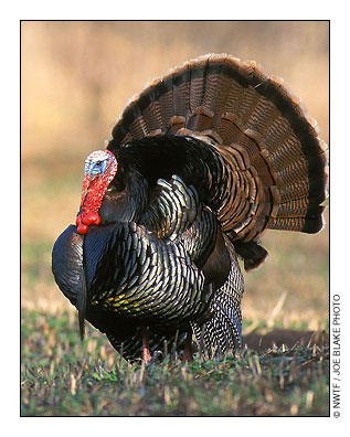 Eastern Wild Turkey Wildlife New Hampshire Fish and Game
