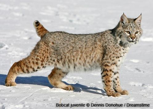 Actualización de estado 05/05/2017 Wildlife-bobcat-juvenile-dennis-donohue